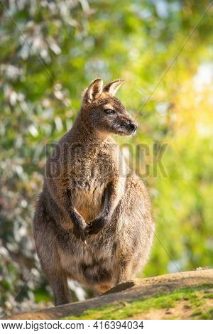 Cute Australian Wallaby In The Sunny Nature