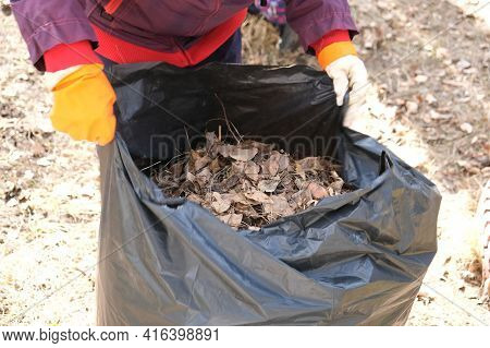 Woman Collects Trash In The Bag. Cleaning The Area From Dry Leaves And Grass. Spring Cleaning In The