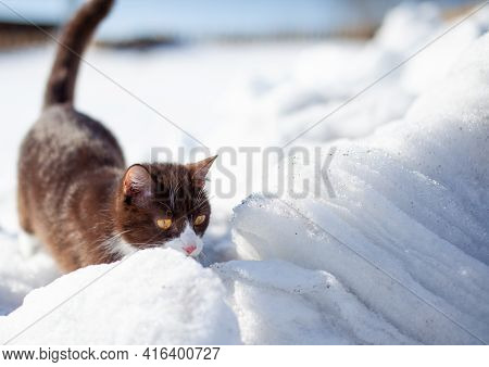 Cute Kitten Walks In The Snow In Winter. A Brown Cat Makes Its Way Through The Snowdrifts. The Pet W