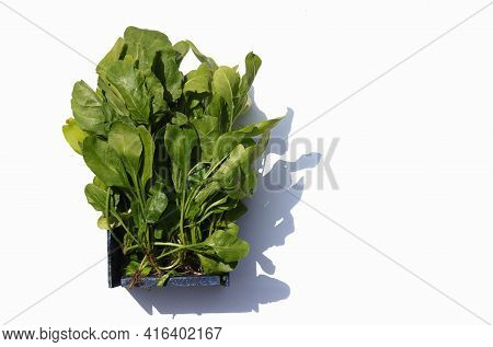 Organic Spinach Leafy Vegetable In A Wooden Box Isolated On White Background With Copy Space