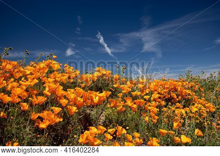 California Golden Poppies In The Southern California High Desert Poppy Preserve Usa