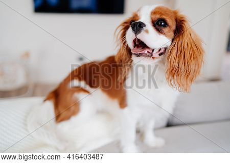 Cavalier King Charles Spaniel - A Breed Of Companion Dogs.