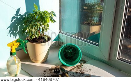 Spring Care For Houseplants, Awakening Houseplants To Spring. Replanting A Plant In A New Pot At Hom