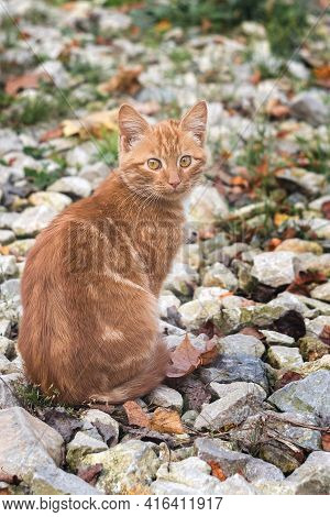 The Ginger Cat Sits Looking Directly Into The Camera. A Beautiful Tabby Cat With Surprised Eyes. Por