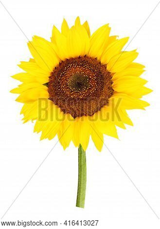 Yellow Sunflower Isolated On A White Background With A Clipping Path. One Flower On A Stem Close-up.