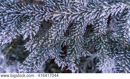Hoarfrost On Twigs Of A Serbian Spruce