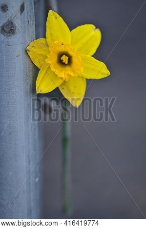 Beautiful Closeup Vertical View Of Single Spring Yellow Daffodil (narcissus) Flower Sputtered With M