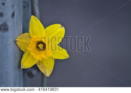 Beautiful Closeup View Of Single Spring Yellow Daffodil (narcissus) Flower Sputtered With Mud Along