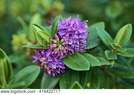 Beautiful Closeup View Of Winter Flowering Shrub Of Violet Hebe Amy (shrubby Veronica, Purple Queen)