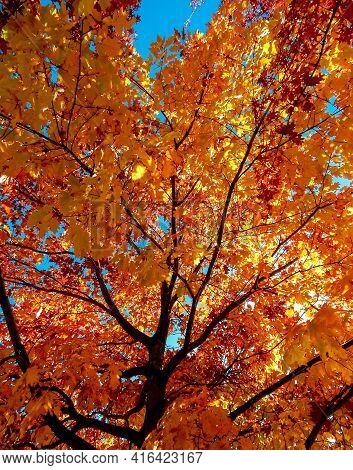 Charming Oak - An Oak Tree Scene In October - Bend, Or