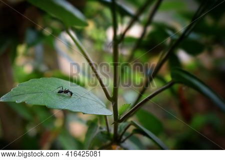 Black Ants Are Looking For Food On Green Branches. Work Ants Are Walking On The Branches To Protect