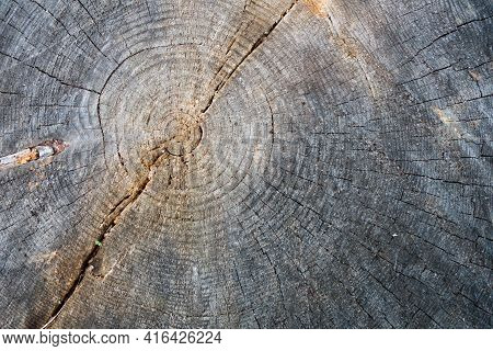 Close Up View Onto Surface Of Stump Of Pine Tree That Was Sawn.  It's Possible To See Heartwood, Gro