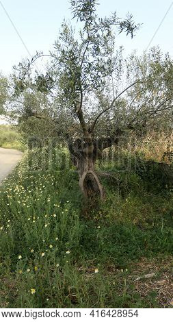 Gnarled Olive Tree In Andalusian Countryside