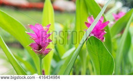 Pink Siam Tulip Flower In A Garden.