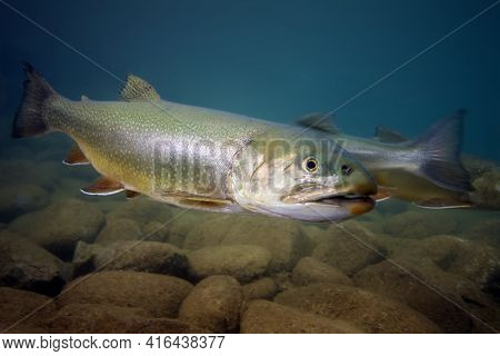 The Brook Trout (salvelinus Fontinalis) In The Lake. A Group Of Brook Trout Over The Bottom Of A Mou