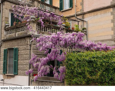 Huge Flowering Of Purple Wisteria Flowers In Clusters Outside The House In Public Street, Spring Nat