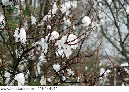 Melting Snow Flakes On Long Branches Of Dense Sea Buckthorn Bushes With Small Buds In Spring Close-u