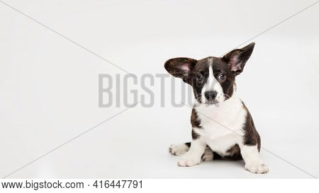 Portrait Of A Charming Cute Cardigan Welsh Corgi Puppy Sitting On A White Background Joyful Looking
