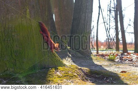 Red-haired Little Squirrel Sits Near A Tree In A City Park On A Sunny Day