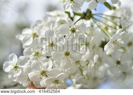 Branches Of Blossoming Cherry Macro With Soft Focus.spring Background With Blooming White Cherry Flo