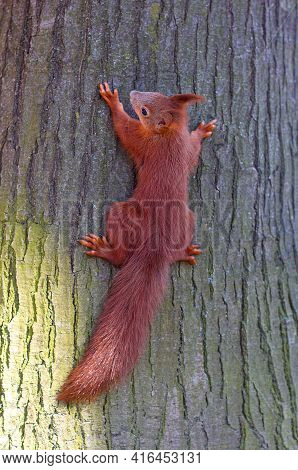 Redhead Red Squirrel Full Growth Close-up Sitting On A Tree Trunk
