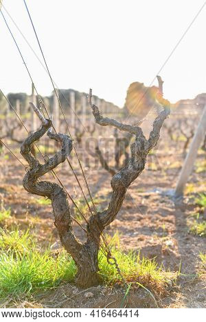 Close Up Of Grape Variety Is Primitivo Di Manduria, Growing In Puglia