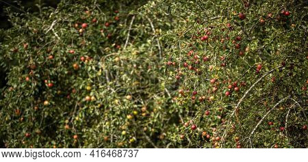 Ripe appetizing red apples on an apple tree branch in the garden in the sun. Orchard with ripe apples on apple tree branches. Fruits on a fruit tree branch in backlight. Harvest apples.