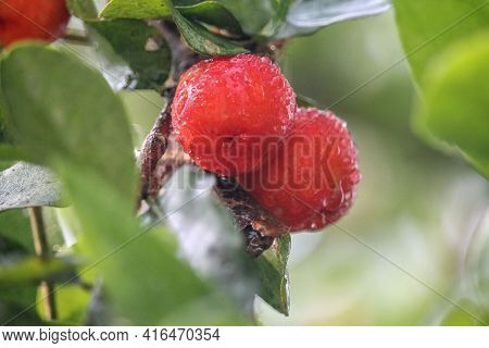 Fresh Small Red Organic Brazillian Acerola Cherry Fruit (malpighia Glabra) With Green Leaves. Fresh