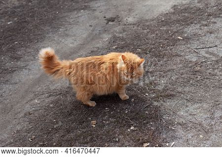 A Stray Ginger Cat Standing Outside On Dirt And Looking Around.