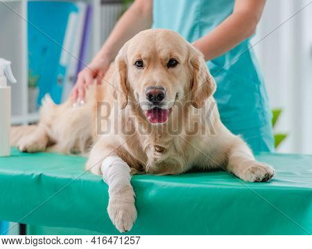 Golden retriever dog ear examination by doctor during appointment in veterinary clinic