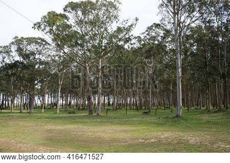 Forest With Eucaliptus And Pine Trees At Rodiles Recreation Area. Asturias, Spain