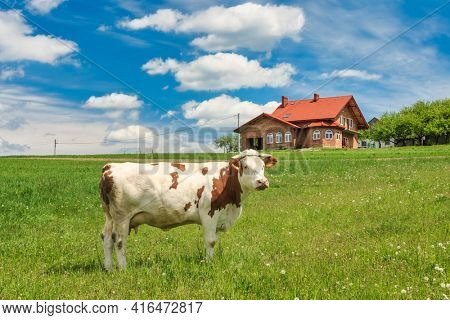 Cow on a green meadow with blue clouds