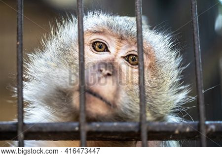 Little Grey Monkey In The Zoo. Monkey In A Cage. Adorable Monkey.