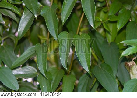 Hedge Of Guaco Leaves Or Witch's Weed (mikania Glomerata Spreng)