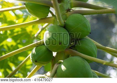 Papaya Fruit On Papaya Tree In Farm. Agricultural Background.