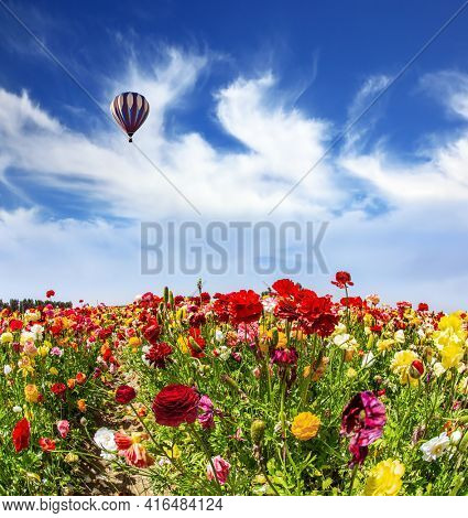 Huge multicolored hot air balloon flies over a field of flowers. Wonderful trip for spring beauty. Israel. Bright beautiful multi-colored garden buttercups grow in a kibbutz field.