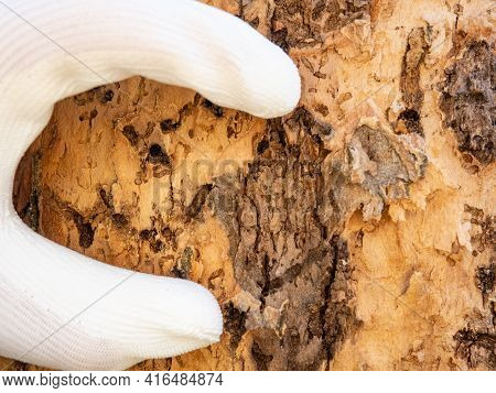 Forest Staff Hand Show Tunnels Of Wood-destroying Insect Larvae To A Dead Winter Oak. Devastating Ca