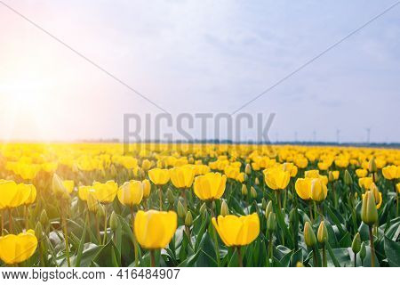 Magical Landscape With Fantastic Beautiful Tulips Field In Netherlands On Spring. Blooming Multicolo