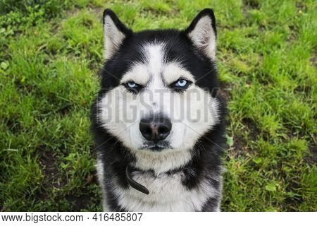 Husky Dog On The Grass Background. Portrait Of A Siberian Husky. Black And White Siberian Husky With