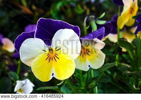 Details Of Violet-white-yellow Blooming Pansy In The Spring Garden