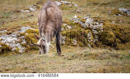 One Chamois Eating Grasses. Rupicapra Rupicapra In Natural Environment In Switzerland. Beauty In Nat