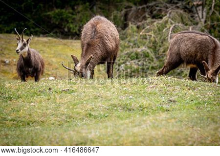 Chamois Eating Grasses. Rupicapra Rupicapra In Natural Environment In Switzerland. Beauty In Nature.