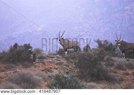 Two Wild Southern Oryx Antelopes Grazing On A Ridge In South Africa.  Photographed While On Safari.