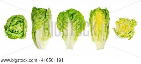 Romaine Lettuce Hearts. Whole And Cross Sections Of Cos Lettuce Heads In A Row. Sturdy Dark Green Le