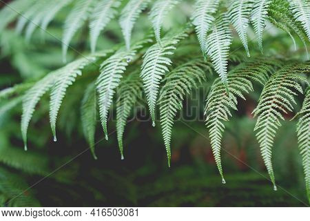 Punga Or Tree Fern Fronds With Rain Drops In New Zealand, Nz Bush - Shallow Depth Of Field