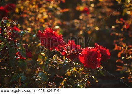 Red Roses Blooming In Summer Garden Lit By Evening Sun