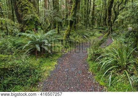 Hiking Track Leading Through Unspoilt Tropical New Zealand Rainforest With Ferns And Moss Covered Tr