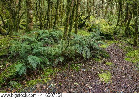 Unspoilt Tropical Rainforest With Ferns And Moss Covered Trees In Fiordland National Park, New Zeala