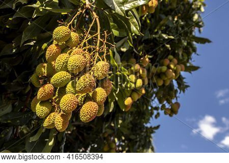 Unripe Green Lychee Hanging From A Lychee Tree. Fresh Green Lychee Fruits Grow On Tree In Brazil