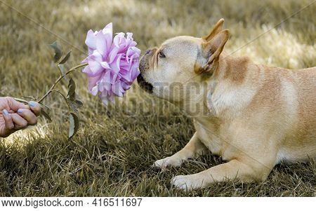 5-year-old Tan Male Frenchie Sniffing Purple Rose. Springtime In Northern California.
